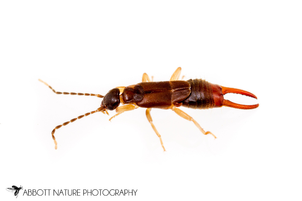 Lesser Earwig (Labia minor) male<br /> United States: Alabama: Tuscaloosa Co.<br /> Tulip Tree Springs off Echola Rd.; Elrod<br /> 5-Sep-2016<br /> J.C. Abbott #2864