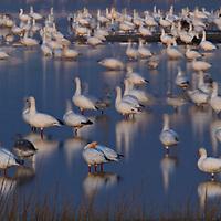 A long exposure of a restless snow goose (Chen caerulescens) flock at twilight, Swan Cove Pool, Chincoteague National Wildlife Refuge, Assateague Island, Virginia.