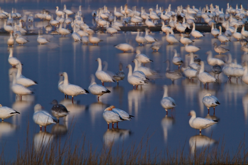 A long exposure of a restless snow goose (Chen caerulescens) flock at twilight, Swan Cove Pool, Chincoteague National Wildlife Refuge, Assateague Island, Virginia.