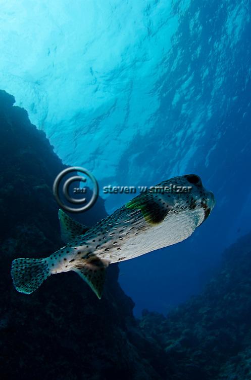 Giant Porcupinefish, Diodon hystris, Linnaeus, 1758, Kona Hawaii