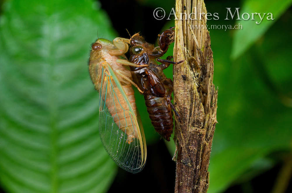 Cicada Emerging from Shell and drying wings, Costa Rica. The nymphs spend their time underground sucking fluids from roots of trees. When it is time for them to become an adult, they tunnel their way out of the earth, attach themselves to the bark or branch of a tree, and molt for the final time. The adult that emerges looks almost identical to the nymph, only larger with big beautiful wings. This always happens at night, so we don't see the adult, just the skin they leave behind which is perfectly preserved and very crunchy. The adult males are capable of producing sound from their abdomen which they use to track down a mate. Cicadas are active during the daytime, so that VERY loud hissing sound you hear during the hottest hours of the day are lonely male cicadas. Image by Andres Morya