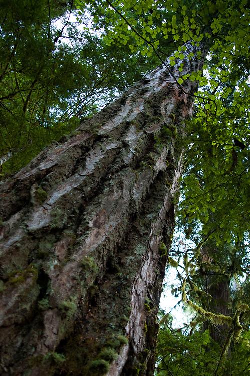 Douglas Fir (Pseudotsuga menziesii) Tree, Gifford Pinchot National Forest, Washington, US
