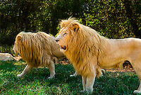 Male white lions, Lion Park, near Johannesburg, South Africa. The white lion is a rare color mutation of the Timbavati region of South Africa.