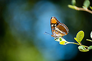 Side view of close up of beautiful California Sister butterfly perched on the edge of a leafy stem.