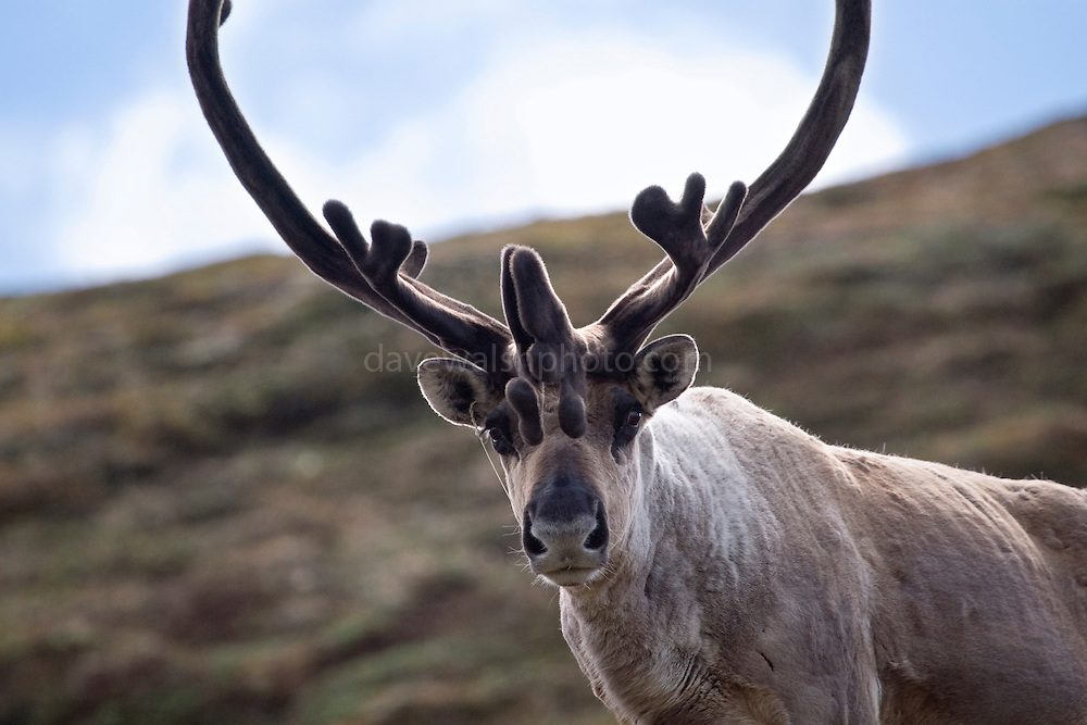 Caribou stags on Polychrome mountain, Denali National Park, Alaska. Reindeer, when living wild in North America, are known as caribou...