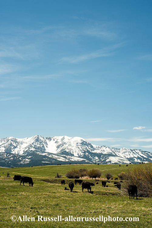 Black Angus, cattle, pasture, Sedan, Montana, Bridger Mountains