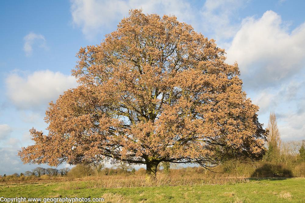 Quercus robur English oak tree standing alone in field in autumn leaf, Sutton, Suffolk, England