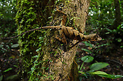 Wagler's Anole (Anolis nitens scypheus)<br /> Yasuni National Park, Amazon Rainforest<br /> ECUADOR. South America<br /> HABITAT & RANGE: Tropical forests of Amazon from Colombia, Ecuador and Peru