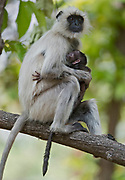 Female with baby of gray langur monkey (Semnopithecus dussumieri) in Kanha National Park, India.