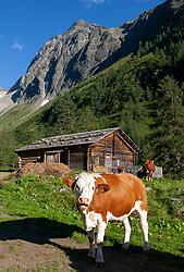 THEMENBILD - Deutsche Wanderin stirbt nach Kuh-Attacke, Landwirt muss mehr als 180.000 Euro bezahlen. Mit massiven finanziellen Folgen hat ein Bauer zu kämpfen, dessen Kuhherde eine deutsche Hundehalterin zu Tode getrampelt hat. Ein Gericht in Österreich sorgte mit seinem Urteil für Aufsehen. Die 45 Jahre alte Hundehalterin aus Rheinland-Pfalz war im Sommer 2014 im Tiroler Stubaital von der Kuhherde, die offenbar die Kälber vor dem Hund schützen wollte, zu Tode getrampelt worden. Die Frau hatte laut Gericht die Hundeleine mit einem Karabiner um die Hüfte fixiert. Bild Aufgenommen am 16.07.2006 // German wanderer dies after cow attack, farmer must pay more than 180,000 euros. With massive financial consequences has a farmer to fight, whose cow herd has trampled a German dog owner to death. A court in Austria caused a stir with his judgment. The 45-year-old dog owner from Rheinland-Pfalz was trampled to death in summer 2014 in the Tyrolean Stubai Valley by the herd of cattle, who apparently wanted to protect the calves from the dog. The woman had loud court the dog leash with a carabiner around the waist fixed. Picture taken on 16.07.2006. EXPA Pictures © 2019, PhotoCredit: EXPA/ Johann Groder