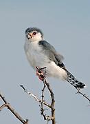 African Pygmy Falcon (Polihierax semitorquatus), from Tarangire N