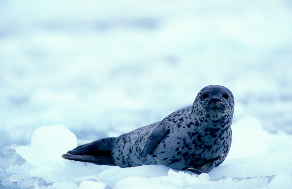 USA, Alaska, Chugach National Forest, Harbor Seal (Phoca vitulina) rests on ice near Yale Glacier in Prince William Sound