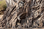 Indian Langur monkeys, Presbytis entellus, in Banyan Tree in Ranthambhore National Park, Rajasthan, India