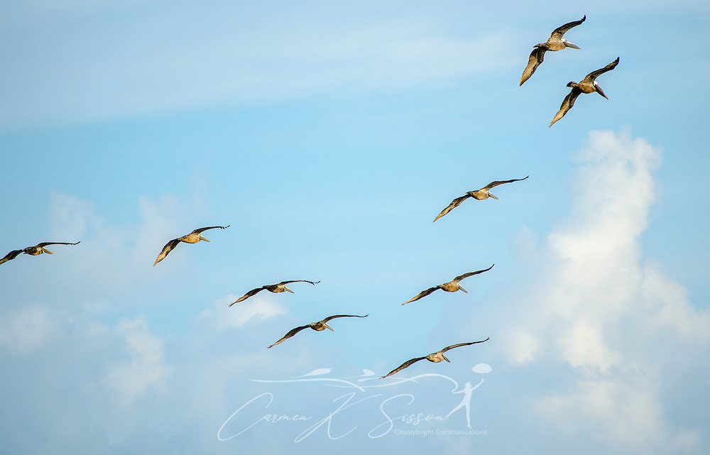 Brown pelicans fly in formation, June 17, 2013, in Bayou La Batre, Alabama. (Photo by Carmen K. Sisson/Cloudybright)