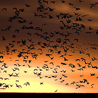 flocks of snow geese fly into sunrise