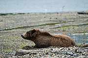 A female adult Brown Bear sleeps on the beach along Naknek Lake by Brooks Camp at in Katmai National Park and Preserve September 15, 2019 near King Salmon, Alaska. The park spans the worlds largest salmon run with nearly 62 million salmon migrating through the streams which feeds some of the largest bears in the world.