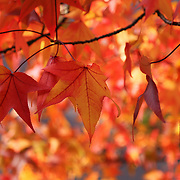 &quot;Dance of Autumn Delight&quot;<br /> <br /> Brilliant Maple leaves dance in the sunlight on an autumn day!!<br /> <br /> Fall Foliage by Rachel Cohen