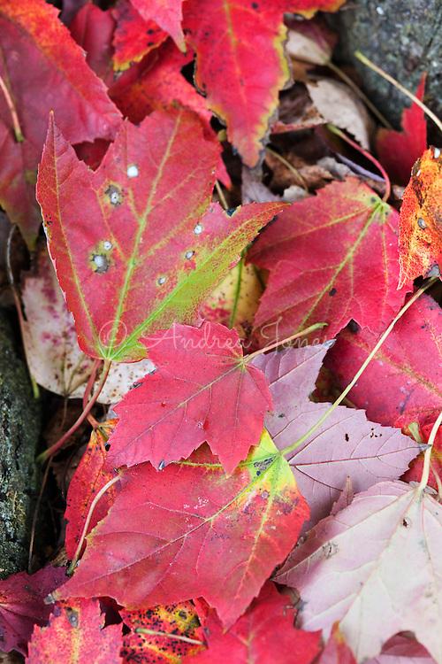 Acer rubrum (red maple) leaves. Chanticleer Garden, Wayne, Pennsylvania, USA