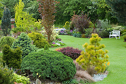 Contrasting shapes of conifers, shrubs and trees in curving borders in John Massey's garden.  Planting includes Pinus radiata 'Aurea', Fagus sylvatica 'Dawyck' (Beech), Ulmus minor 'Dampieri Aurea' and Abies lasiocarpa 'Compacta'. White bench seat