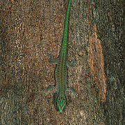 Madagascar day gecko  (Phelsuma madagascariensis madagascariensis) is a diurnal subspecies of geckos. It lives on the eastern coast of Madagascar and typically inhabits rainforests and dwells on trees. The Madagascar day gecko feeds on insects and nectar. This lizard is one of the largest living day geckos. It can reach a total length of about 22 cm (8.7 in). The body color is light green or bluish green. The skin between the scales often has a light color. A rust-coloured stripe extends from the nostril to behind the eye. On the back there are brownish or red-brick coloured dots which may form a thin line along the mid back. These geckos do not have eyelids, and they have flattened toe pads.