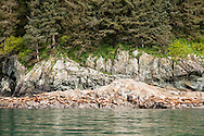 Stellar Sea Lions (Eumetopia jubatus) hauled out on a rock outcropping in Prince Willaim Sound in Southcentral Alaska. Spring. Afternoon.
