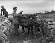 Brendan Behan in Connemara.10/06/1959