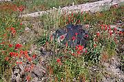 Common Red Paintbrush (Castilleja miniata), Mt. St. Helens National Volcanic Monument, Washington, US