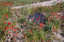 Common Red Paintbrush (Castilleja miniata), Mt. St. Helens National Volcanic Monument, Washington, US