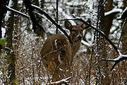 Winter Deer, Shawnee Mission Park, Kansas