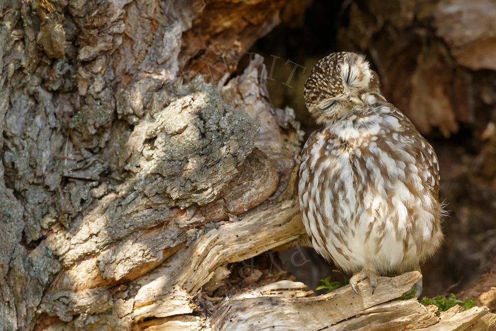 Little Owl (Athene noctua) adult, preening feathers perched in dead tree, Norfolk, UK.