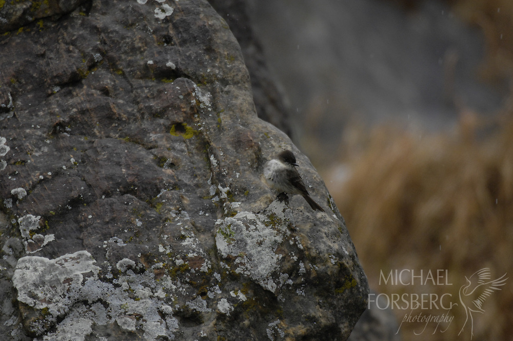 High Plains region, shortgrass prairie Kiowa National Grassland, New Mexico...In Mills Canyon, a Flycatcher (need id) perch hunts for insects during snow fall on a rock outcrop next to a small spring pool in the Canadian River drainage