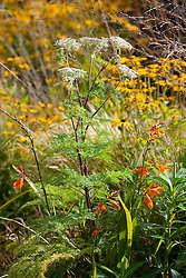 Crocosmia × crocosmiiflora 'Star of the East' with Selinum wallichianum