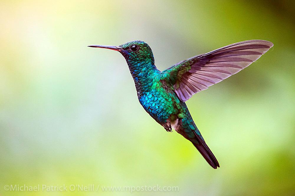 Wild Blue Chinned Saphire Hummingbird, Chlorestes notatus, in flight in Trinidad.