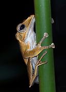 File-eared Tree Frog (Polypedates otilophus) from Danum Valley, Sabah, Borneo.