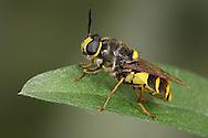 Soldier Fly - Stratiomys potamida