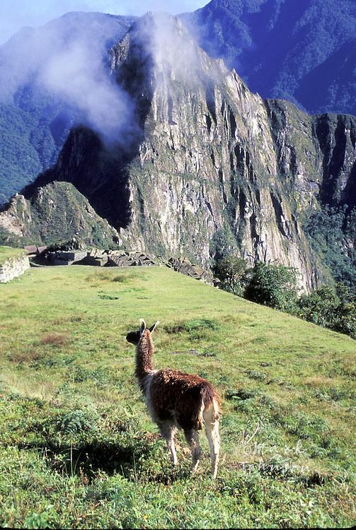 Peru, Machu Picchu, llama above ruins