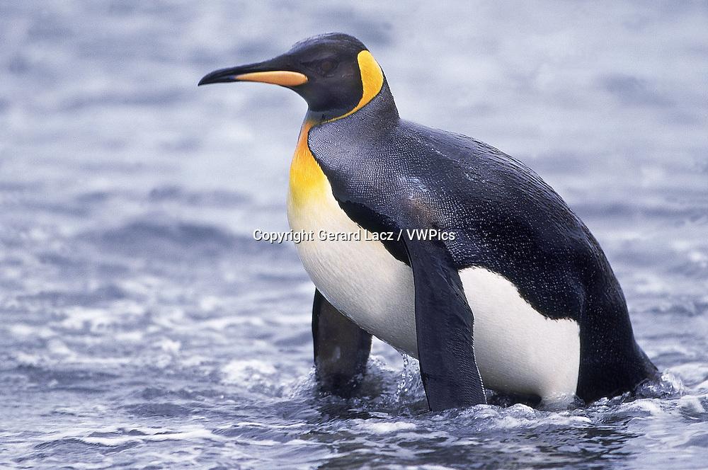 KING PENGUIN aptenodytes patagonica, ADULT EMERGING FROM OCEAN, SALISBURY PLAIN IN SOUTH GEORGIA