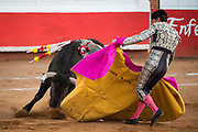 Mexican Matador Curro Vivas presents his cape to the bull as it charges during a bullfight at the Plaza de Toros in San Miguel de Allende, Mexico.