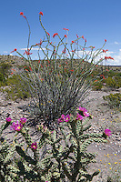 Ocotillo (Fouquieria splendens), and Tree Cholla, (Cylindropuntia imbricata var. arborescens), Big Bend Ranch State Park, Texas
