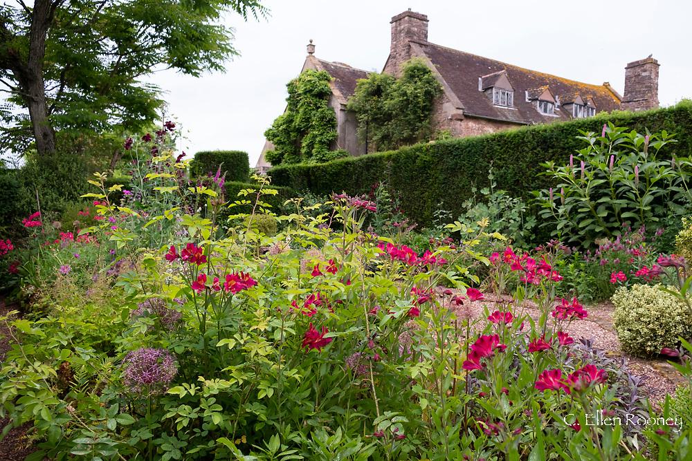Red Alstroemeria in the Bishop's Garden at Cothay Manor, Greenham, Wellington, Somerset, UK