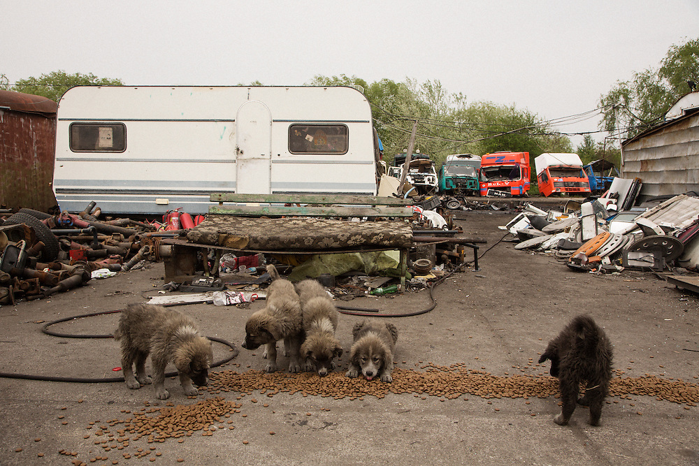Dogs being fed at Dinko Valev's junkyard in Yambol, Bulgaria. <br /> <br /> Matt Lutton / Boreal Collective for VICE
