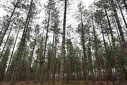 ©London News pictures...24.01.2011. Alice Holt forest in Surrey, UK. A public consultation begins later this week over the sale of some of the UK's forests and a bill to enable the sale is due to go before the House of Lords. The state currently owns 18% of forests and woodland in England; however, spending cuts could result in parts being sold off or given away. Picture Credit should read Stephen Simpson/LNP