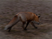 Red Fox on the Beach at Fire Island - Turns to Leave After our Photo Shoot