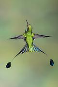 Booted Racket-tail, Ocreatus underwoodii, male, Nanegalito, Ecuador