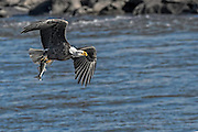 Bald Eagle -  Haliaetus leucophalus flying with a fish in its claws