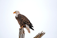 A Bald Eagle perched high on an old dead cottonwood tree next to a small northern Utah stream.