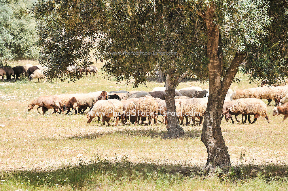 A herd of Sheep in an Olive Grove, Negev, Israel