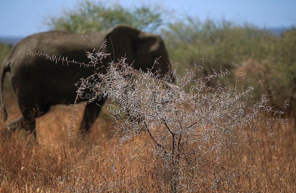 ELEPHANT DEVANT UN EPINEUX, PARC NATIONAL DE TANGIRE, TANZANIE