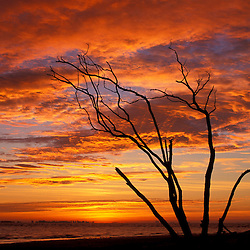 Sanibel, FL. Dead tree on Lighthouse Beach.  Sunrise.  Sanibel Island.