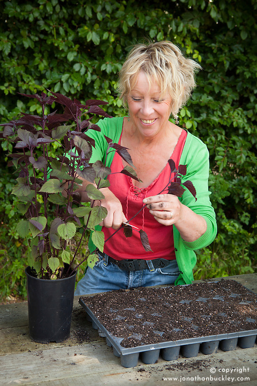 Carol Klein taking cuttings from eupatorium